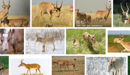 サイガ・アンテロープsaiga antelope大量死